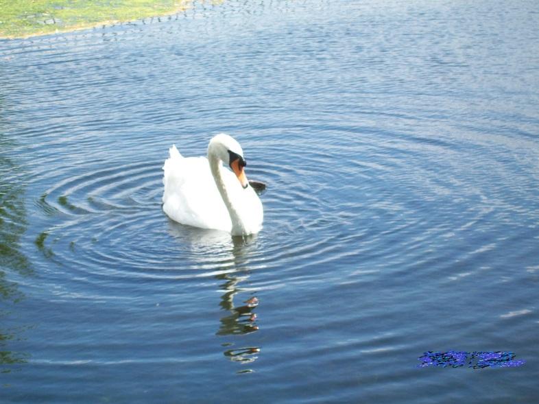 196 swan at Hampton Court