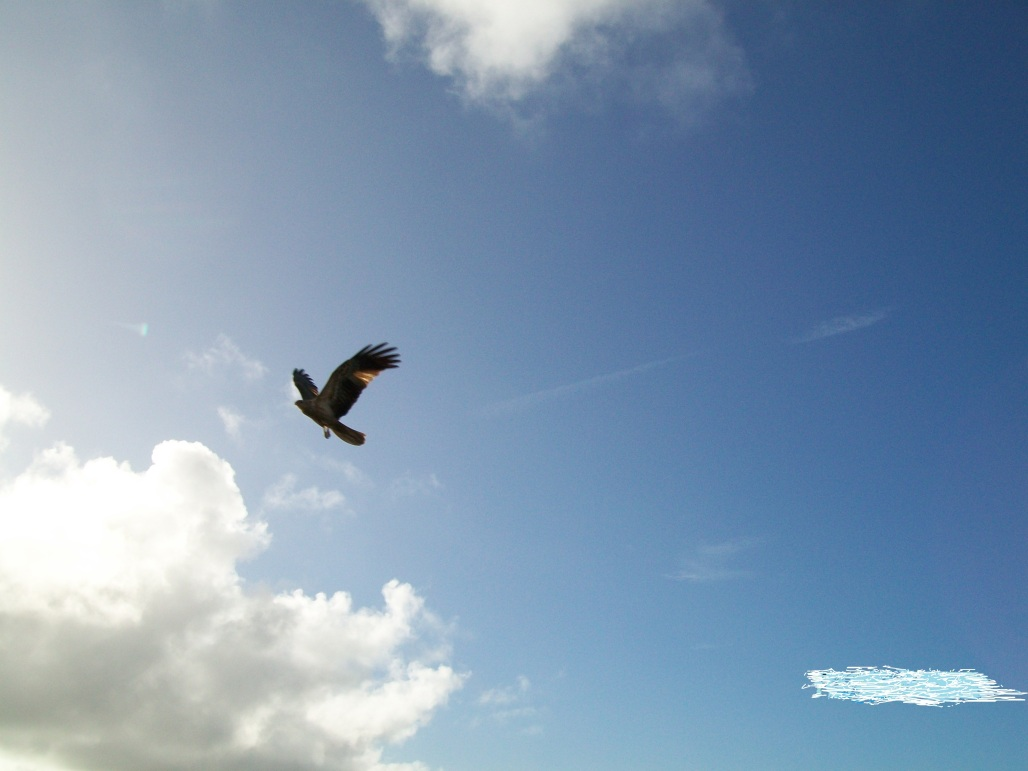 4 Soaring bird, Tin Can Bay, 21 June 2009