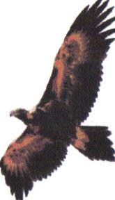 Australian Eagle