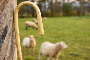 Shepherd, staff, sheep,