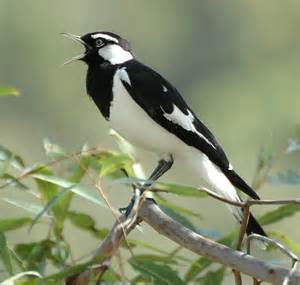 magpie lark Australian