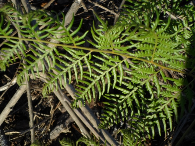 Survivor - wild fern 2