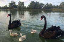 bLACK SWANS ON on Darling River N.S.W.