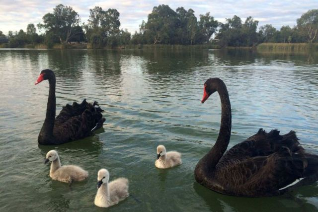 bLACK SWANS ON on Darling River N.S.W.
