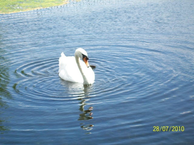 196 swan at Hampton Court - Copy