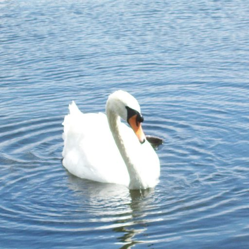 cropped-196-swan-at-hampton-court-copy-copy-21.jpg