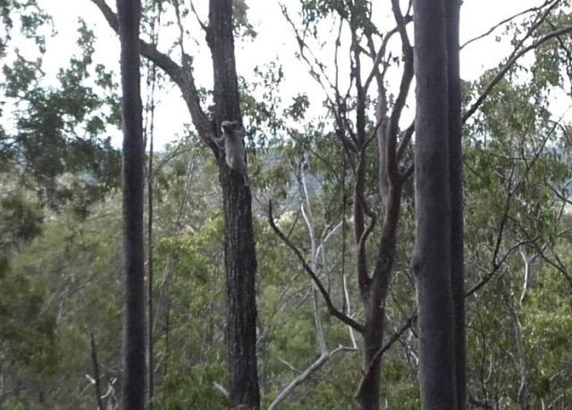 14 Koala near our house climbing tree , 31 July 2017 - Copy