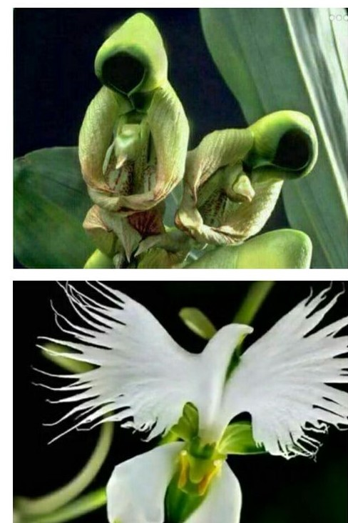 Pentecost Orchid 1 - Copy (2)