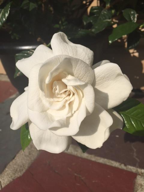 gardenia - Copy.png