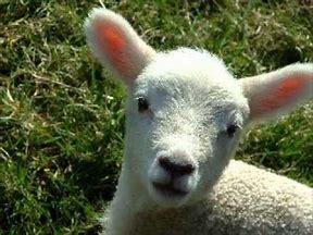 Parental Desperation – a little Lamb  | PASSIONATE CREATIVE