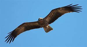 soaring Bird Australia
