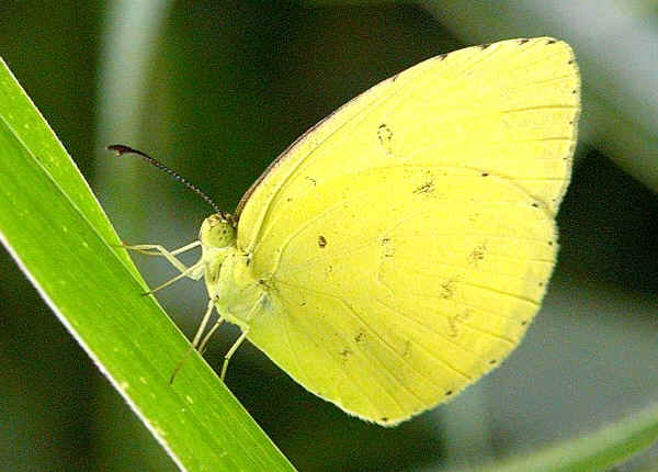 yellow butterfly - S.E. Qld variety