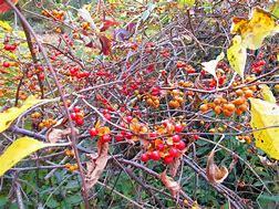 A vine invasive plant